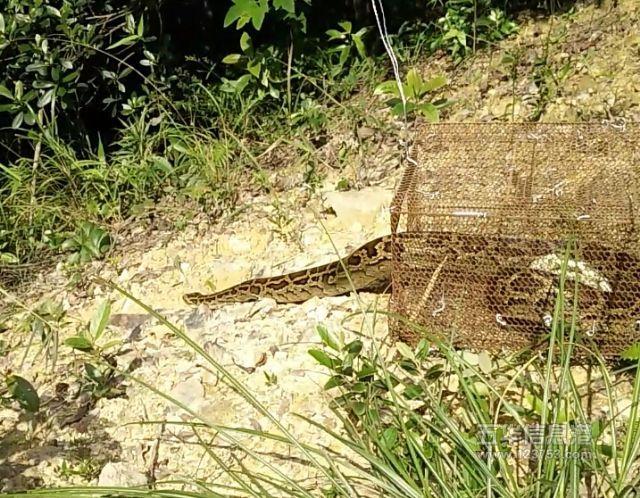 长布镇再现大蟒蛇,被捕获后放归七目嶂自然保护区